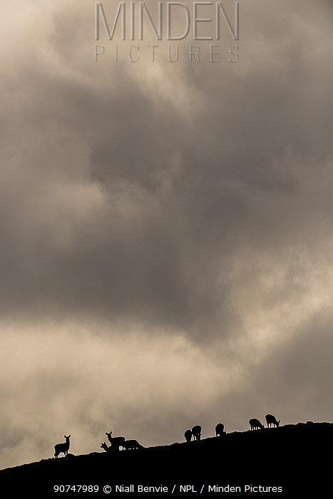 Red deer (Cervus elaphus) herd silhouetted against sky, Jura, Scotland, UK, February.