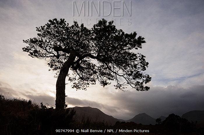 Scots pine (Pinus sylvestris) silhouetted in Glen Grudie, Scotland, UK, November.
