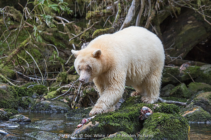 Spirit / Kermode bear (Ursus americanus kermodei) just finishing eating fish, most likely salmon, the Great Bear Rainforest, British Columbia, Canada, October