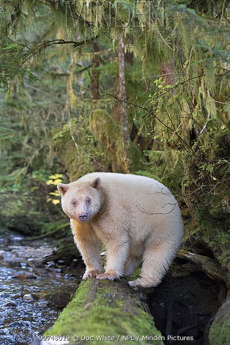 Spirit / Kermode bear (Ursus americanus kermodei) rare subspecies of the American black bear, found in scared locations of the Gitga'at nation, Great Bear Rainforest, British Columbia, Canada, October