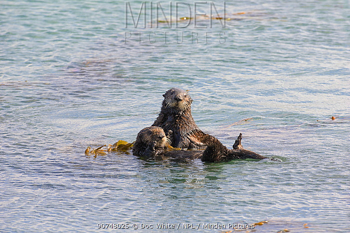 California sea otters (Enhydra lutris) resting at surface tied up in kelp, Morro Bay, California, USA, October