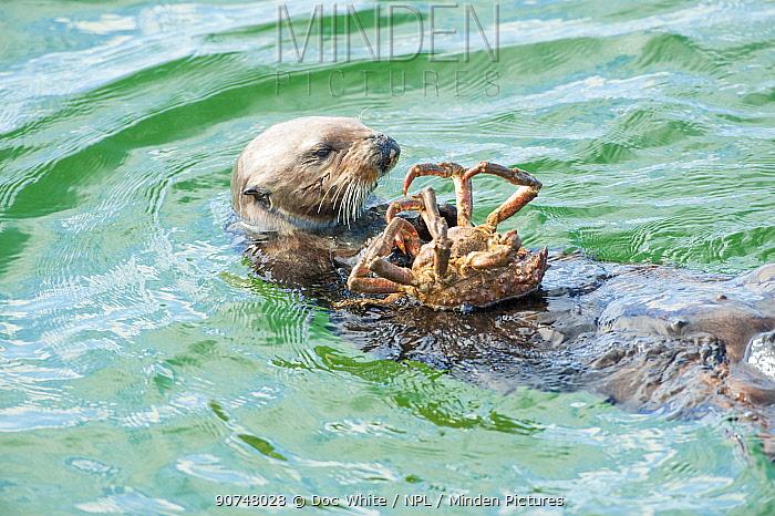 California sea otter (Enhydra lutris) feeding on Northern kelp crab, Monterey Bay, California, USA, Eastern Pacific Ocean, May