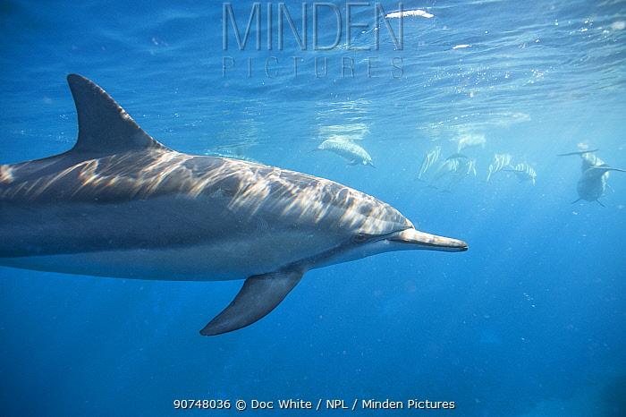 Spinner dolphin (Stenella longirostris) profile underwater, Kona coast, Hawaii, USA, August