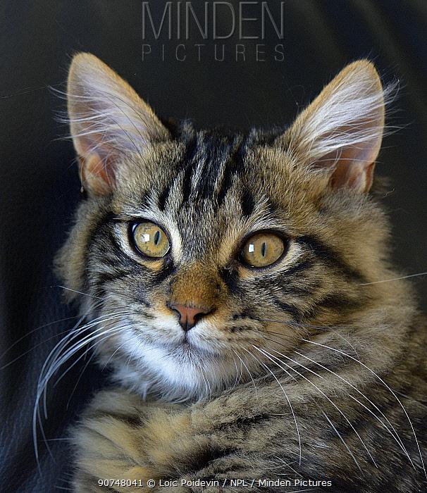 Domestic tabby  cat head portrait, France