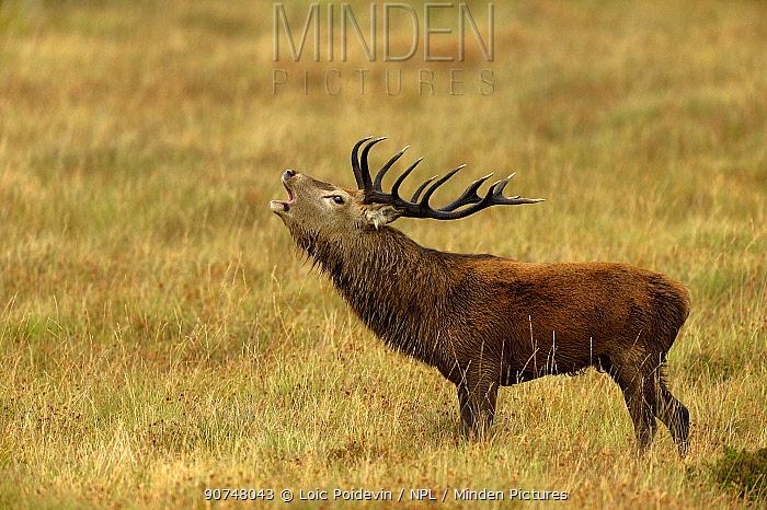 Red deer (Cervus elaphus) male stag roaring portrait, rut season, Jura, Scotland, UK, September
