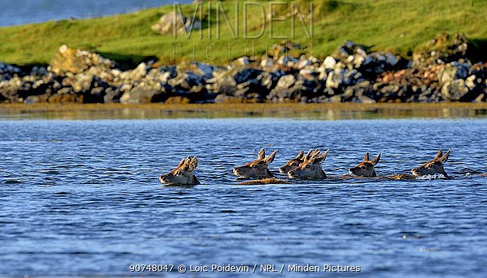 Red deer (Cervus elaphus) herd of female does and young swimming in coastal water, Jura, Scotland, UK, September