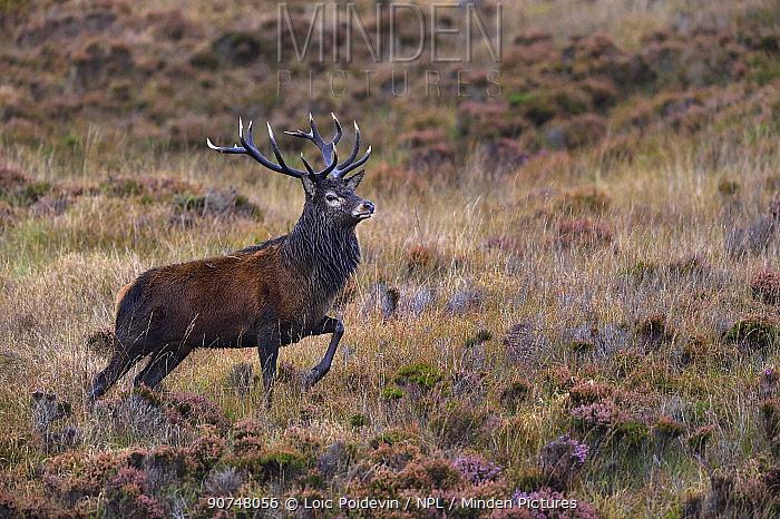 Red deer (Cervus elaphus) male stag in heather, rut season, Jura, Scotland, UK, September