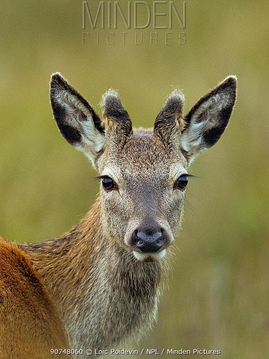Red deer (Cervus elaphus) young male portrait, Jura, Scotland, UK, September