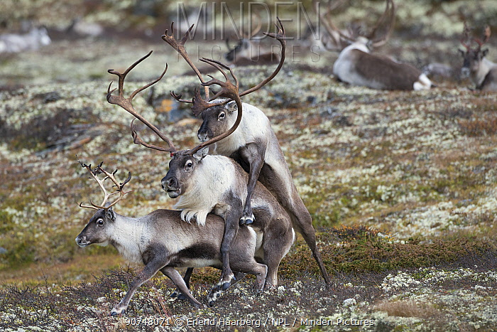 Wild Reindeer (Rangifer tarandus) pair mating with another male mounting the male, Forollhogna National Park. Norway September