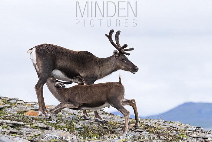 Domesticated reindeer (Rangifer tarandus) calf suckling from female in Padjelanta Nationl Park, Laponia World Heritage Site, Swedish Lapland, Sweden.