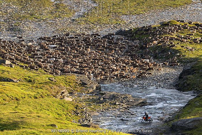 Gathering domesticated Reindeer (Rangifer tarandus) with motorcycle for calf-marking in the Padjelanta National Park, Laponia World Heritage Site, Swedish Lapland, Sweden July