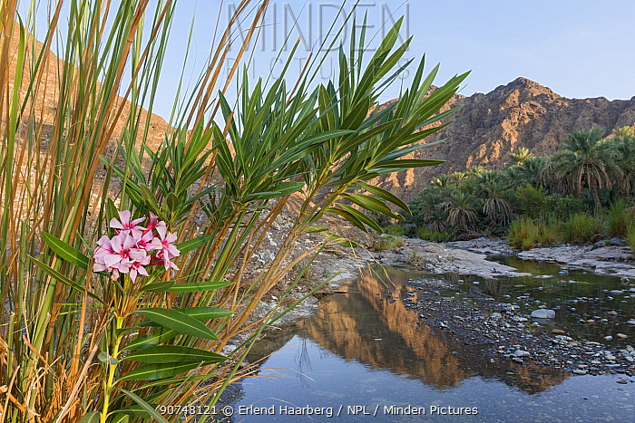 Date palm plantation by a small river in the Hajar Mountains. United Arab Emirates.