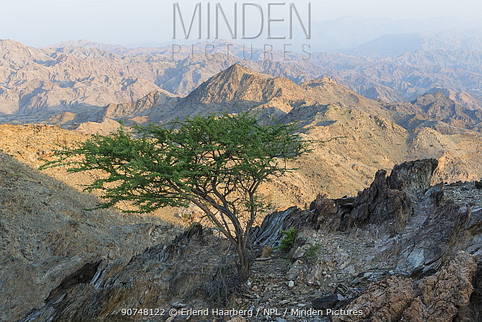 Solitary tree in the Hajar Mountains. United Arab Emirates.