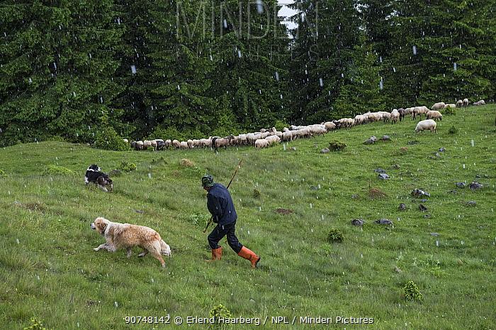 Shepherd (Szakacs Pal) and dogs with flock of  sheep on Mount Noscolat (Naskalat). Ghimes, Ciucului Mountains, Transylvania, Romania.