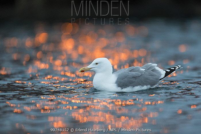 Herring gull (Larus argentatus) on water at dusk in winter. Batsfjord, Finnmark. Norway, March