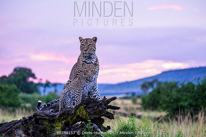 Female Leopard (Panthera pardus) and her cub, aged 8 months, scanning their surroundings, Masai Mara Game Reserve, Kenya.