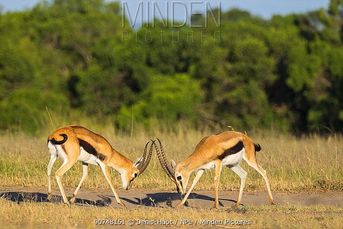 Two male Thomson's gazelles (Eudorcas thomsonii) fighting, Masai Mara Game Reserve, Kenya.