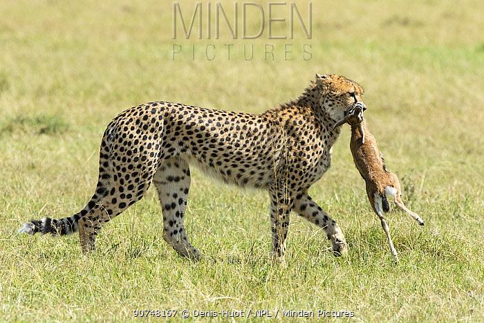 Female Cheetah (Acinonyx jubatus) carrying a Thomson's gazelle calf to her cubs, Masai Mara Game Reserve, Kenya.