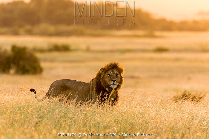 African lion (Panthera leo) standing in dry grass at sunset, Masai Mara Game Reserve, Kenya.