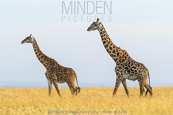 Pair of Masai giraffe (Giraffa camelopardalis tippelskirchi) walking in dry grass, Masai Mara Game Reserve, Kenya.