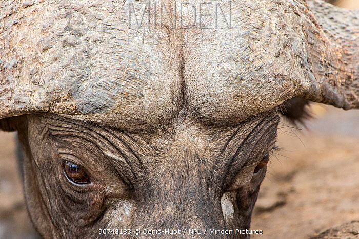 Close up of male African buffalo (Syncerus caffer) head showing the 'boss' where the base of the horns are fused together, Sabi Sands Private Game Reserve, South Africa.