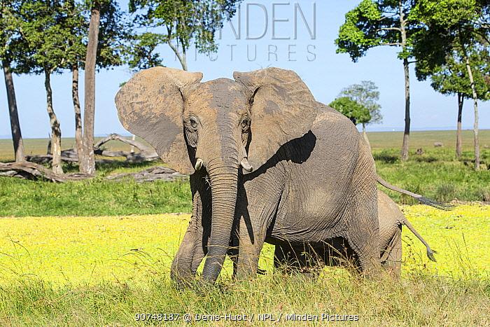 African elephant (Loxodonta africana) female with calf in Musiara marsh, Masai Mara Game Reserve, Kenya.
