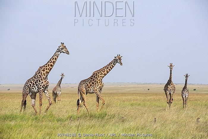 Masai giraffe (Giraffa camelopardalis tippelskirchi) herd of male and females and mongooses (Herpestidae) standing alert in the grass, Masai Mara Game Reserve, Kenya.