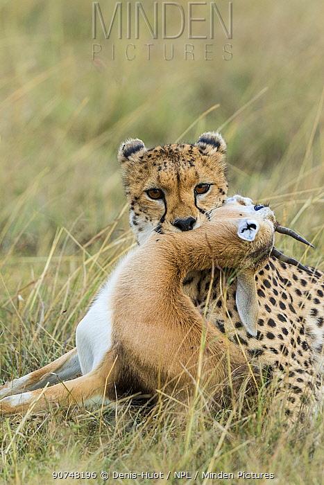 Cheetah (Acinonyx jubatus) killing a Thomson's gazelle (Eudorcas thomsonii), Masai Mara Game Reserve, Kenya.
