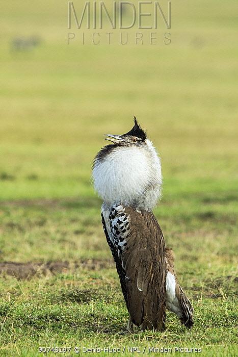 Kori bustard (Ardeotis kori) male displaying, Masai Mara Game Reserve, Kenya.