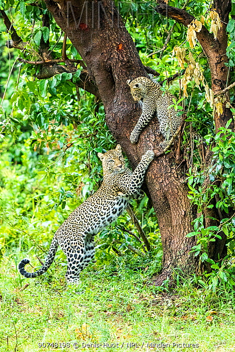 Leopard (Panthera pardus) female playing with her cub, aged 8 months, Masai Mara Game Reserve, Kenya.