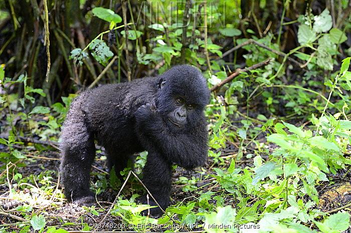 Young mountain gorilla (Gorilla beringei beringei) scratching, Virunga National Park. Democratic Republic of Congo, Africa
