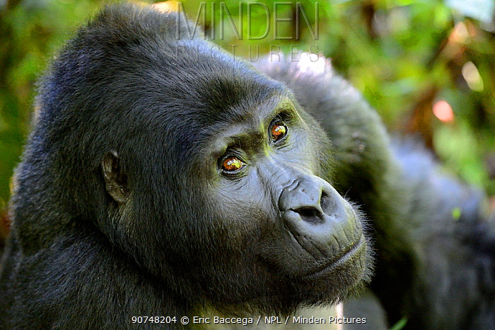 Silverback Mountain gorilla portrait (Gorilla gorilla beringei), Bwindi Impenetrable Forest National Park, Uganda, Africa