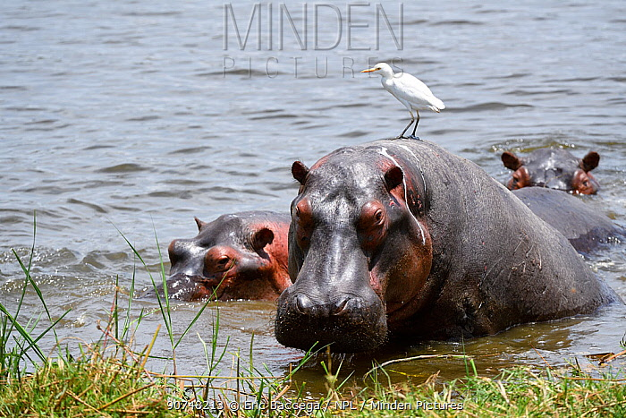 Hippopotamus (Hippopotamus amphibius) resting with cattle egret (Bubulcus ibis) on its back. Akagera National Park, Rwanda, Africa