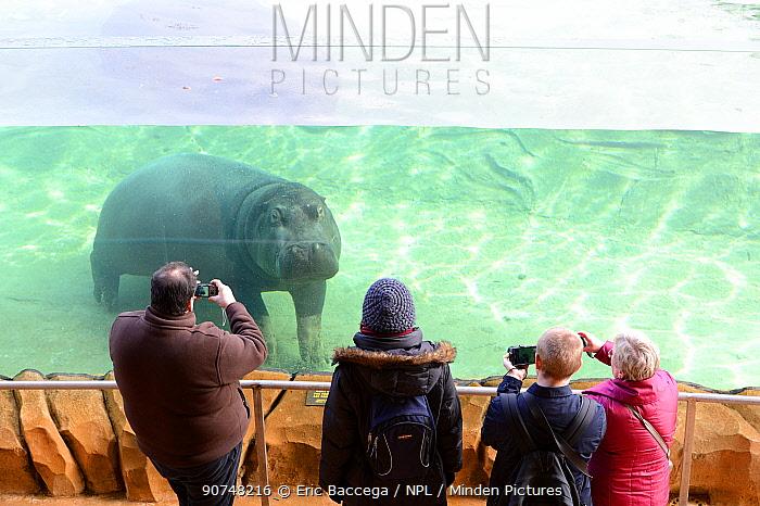 Visitors looking at a female Hippopotamus (Hippopotamus amphibius) through a tank window, captive in Zoo Parc de Beauval, France. Occurs in sub-Saharan Africa.