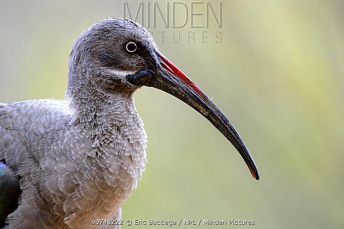 Hadada ibis (Bostrychia hagedash) portrait , captive in Zoo Parc de Beauval, France. Occurs in sub-Saharan Africa.