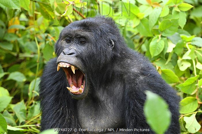 Blackback Eastern lowland gorilla (Gorilla beringei graueri) yawning, in equatorial forest of Kahuzi Biega National Park. South Kivu, Democratic Republic of Congo, Africa