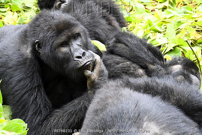 Eastern lowland gorilla (Gorilla beringei graueri) family group resting in equatorial forest of Kahuzi Biega National Park. South Kivu, Democratic Republic of Congo, Africa