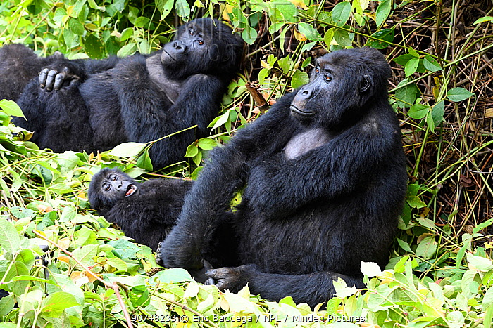 Female Eastern lowland gorilla (Gorilla beringei graueri) resting with baby in equatorial forest of Kahuzi Biega National Park. South Kivu, Democratic Republic of Congo, Africa