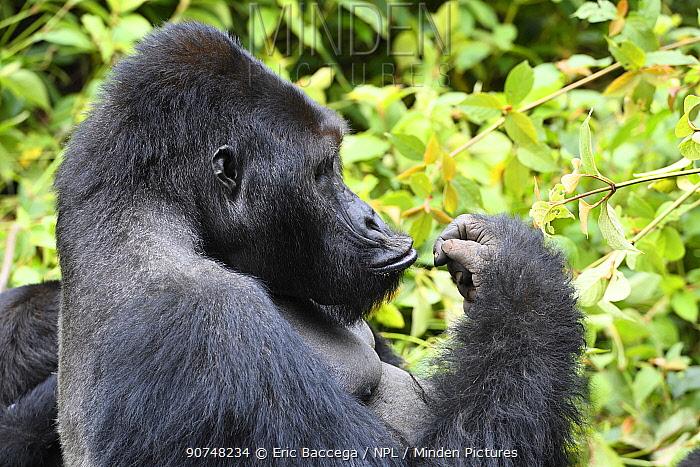 Silverback Eastern lowland gorilla (Gorilla beringei graueri) in equatorial forest of Kahuzi Biega National Park. South Kivu, Democratic Republic of Congo, Africa
