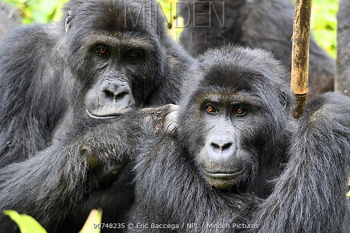 Eastern lowland gorilla (Gorilla beringei graueri) grooming in equatorial forest of Kahuzi Biega National Park. South Kivu, Democratic Republic of Congo, Africa