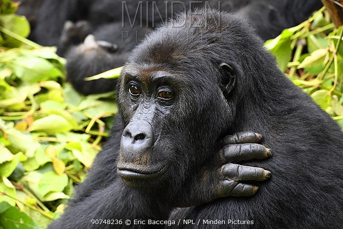 Female Eastern lowland gorilla (Gorilla beringei graueri) in equatorial forest of Kahuzi Biega National Park. South Kivu, Democratic Republic of Congo, Africa