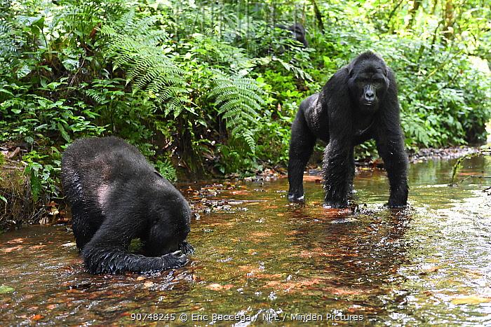 Mountain gorilla (Gorilla beringei beringei) drinking from a mountain stream. Bwindi Impenetrable Forest National Park, Uganda, Africa