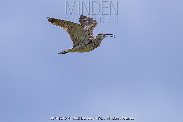 Whimbrel (Numenius phaeopus) in flight, Iceland, June