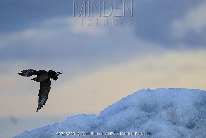 Arctic skua (Stercorarius parasiticus) in flight, Iceland, July.