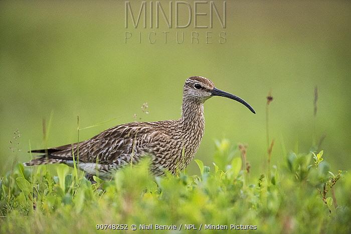 Whimbrel (Numenius phaeopus) Iceland, June.