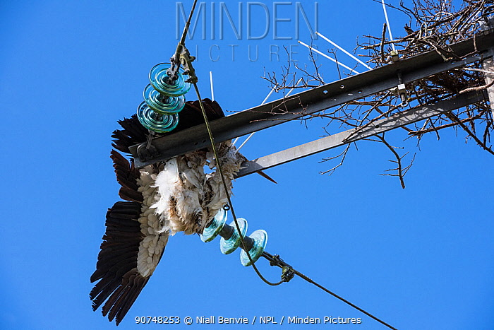 White stork (Ciconia ciconia) electrocuted on power line. Burgundy, France, June.