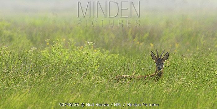 Roe deer (Capreolus capreolus) buck in long grass, Islay, Scotland, UK, June.
