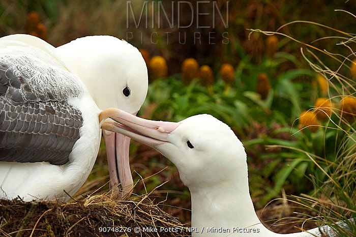 Southern royal albatross (Diomedea epomophora) mutual preening behaviour at the nest, Campbell Island,  Subantarctic New Zealand January