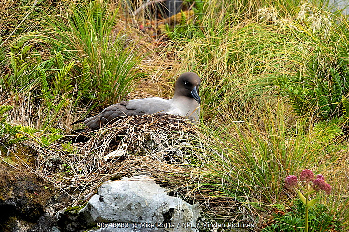 Light mantled sooty albatross (Phoebetria palpebrata)  brooding small chick at it's nest on a low cliff ledge,    Musgrave Inlet, Auckland Island, New Zealand Subantarctic Islands January