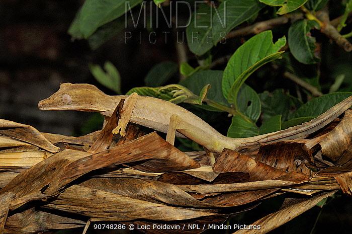 Leaf tailed gecko (Uroplatus fimbriatus) camouflaged on leaf litter, Madagascar
